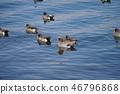 lake biwa, wild bird, shorebird 46796868