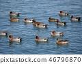 lake biwa, wild bird, shorebird 46796870