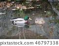 wild bird, mallard, mallard duck 46797338
