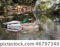 wild bird, mallard, mallard duck 46797340