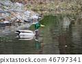 wild bird, mallard, mallard duck 46797341
