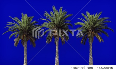 Palm trees in the wind on blue screen. Beautiful summer background. 3D Rendering 46800046