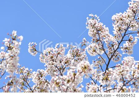 봄철 파란 하늘을 배경으로 활짝 핀 벚꽃 46800452