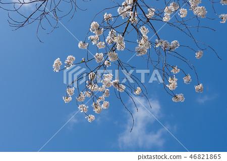 순천 구만리 벚꽃 46821865