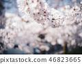 櫻花盛開 46823665
