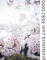 櫻花盛開 46823666