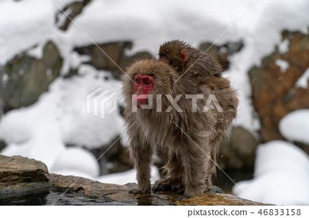 母親和孩子猴子剛孵出的雛 46833158