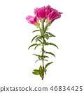 Godetia flower isolated.  46834425