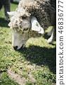 吃草的綿羊的面孔 46836777