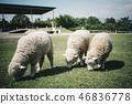 三隻羊正在吃草 46836778