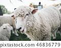 羊是mogo mogo 46836779