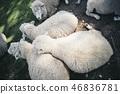 三隻羊被困住了 46836781