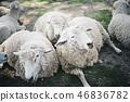三隻羊被困住了 46836782