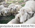 有很多羊 46836783
