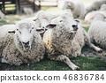 兩隻羊被困住了 46836784