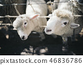 兩個孩子的羊正在看這個 46836786