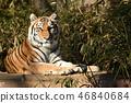 다마 동물 공원의 호랑이 46840684