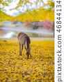 奈良公園:鹿和銀杏 46844134