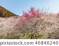Plum forest 46846240