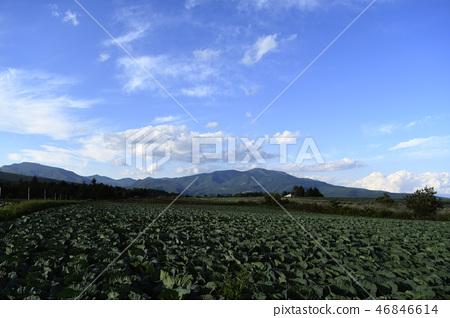 cabbage, cabbages, oleracea 46846614