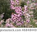 귀여운 작은 분홍색 꽃 에리카 46848449