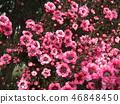 분홍색 귀여운 꽃 교류우바이 46848450