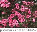 분홍색 귀여운 꽃 교류우바이 46848452