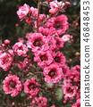 분홍색 귀여운 꽃 교류우바이 46848453