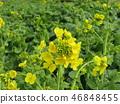 油菜花 强奸的花朵 花椰菜和芥蓝的杂交品种 46848455