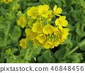 油菜花 强奸的花朵 花椰菜和芥蓝的杂交品种 46848456