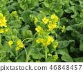 油菜花 强奸的花朵 花椰菜和芥蓝的杂交品种 46848457