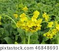 油菜花 强奸的花朵 花椰菜和芥蓝的杂交品种 46848693