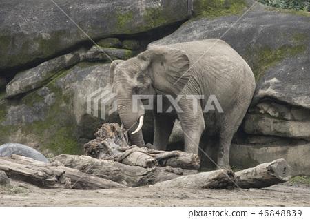 動物園的大象 46848839