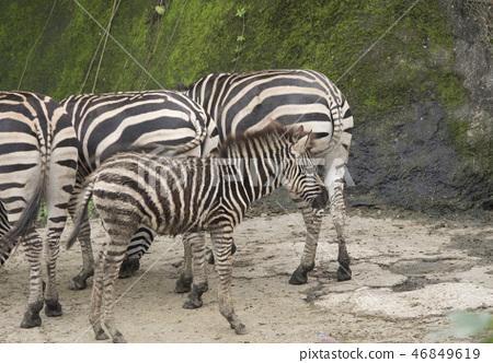 動物園的斑馬 46849619