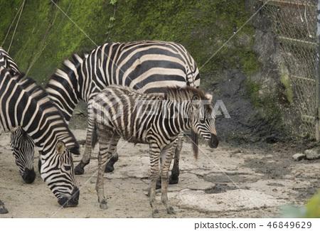 動物園的斑馬 46849629