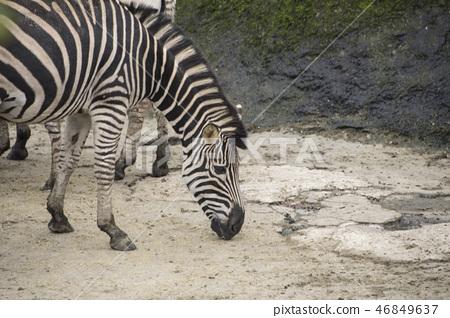動物園的斑馬 46849637