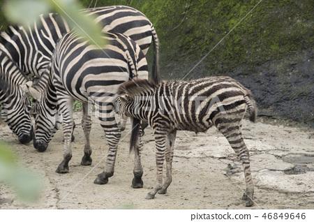 動物園的斑馬 46849646
