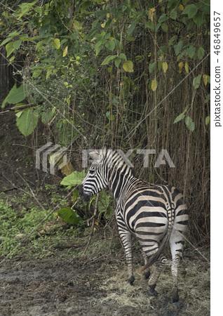 動物園的斑馬 46849657