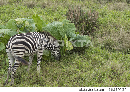動物園的斑馬 46850133
