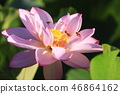 lotus, bloom, blossom 46864162