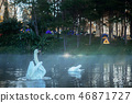 White of swan on water with sunrise. 46871727