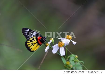 豔粉蝶、紅肩粉蝶 Delias pasithoe curasena 46872537