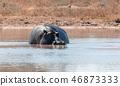 野生生物 河 河马 46873333