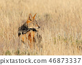 jackal animal safari 46873337