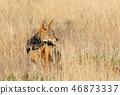 black-backed jackal Namibia africa safari wildlife 46873337