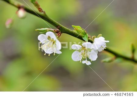 Plum blossoms 46874565