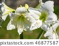 Beautiful cluster of white amaryllis blooms  46877587