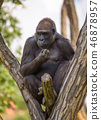 Portrait of a big western lowland gorilla 46878957