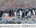 Adelie Penguins on Paulet Island 46885543