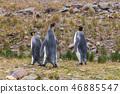 Three King Penguins at Fortuna Bay 46885547